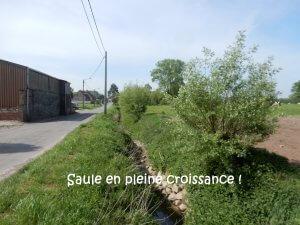 saule en pleine croissance près du lit du cours d'eau l'Obrecheuil