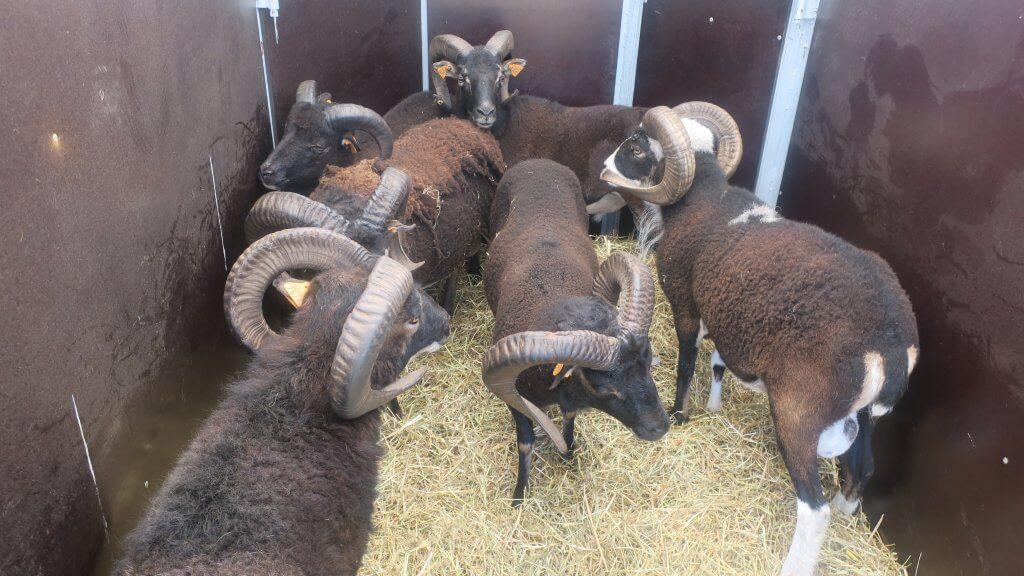 Premier jour du lâcher des moutons Soay